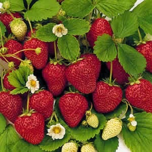 Strawberries - Carpe Diem