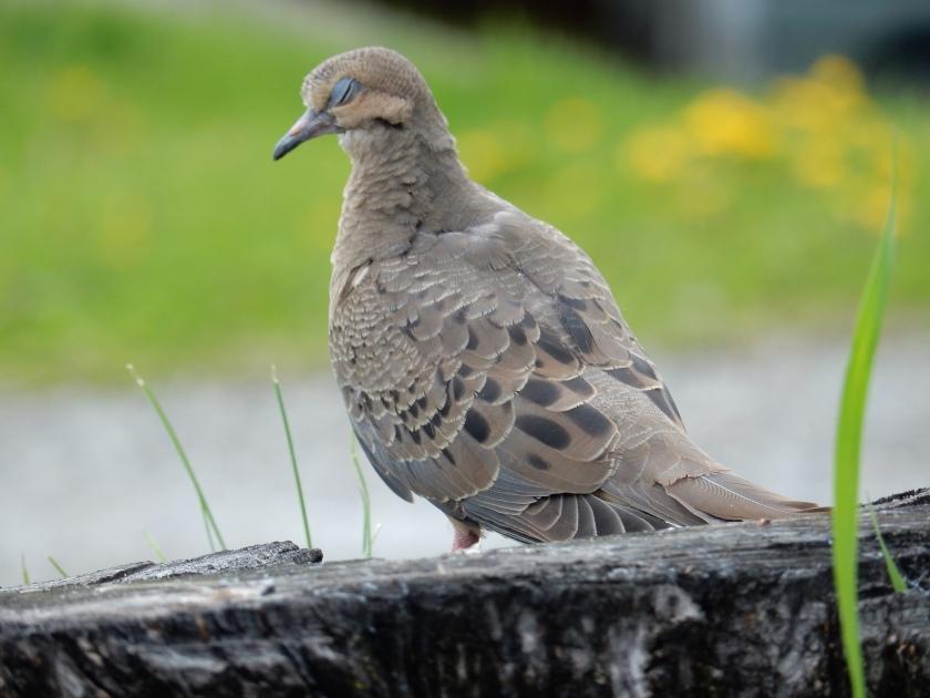 Dreaming Dove